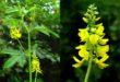 melilotus-officinalis2