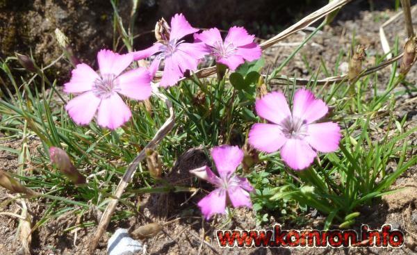 dianthus-pavonius