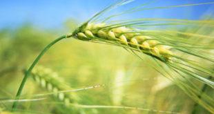 North Rhine-Westphalia, Germany --- Ears of barley --- Image by © Frank Lukasseck/Corbis