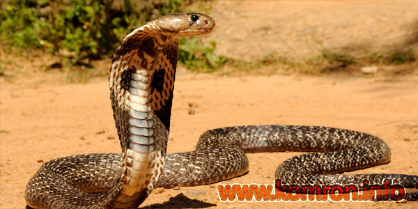 mor-kobra