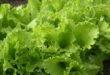 salat_qohu-660x330