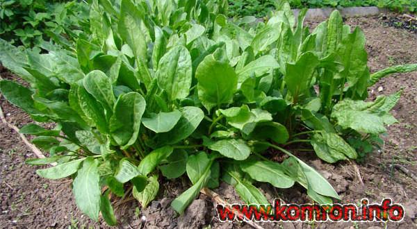 Hapuoblikas Krupnolistnoi (Suurelehine) Rumex acetosa  Sorrel  Niittysuolaheina Angssyra