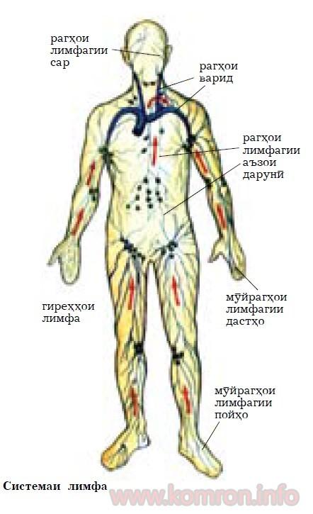 sistemai-limfa