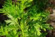 Artemisia-Annua