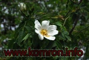 rosa-achburensis