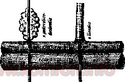 angiostomiya