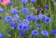 centaurea_cyanus_blue_diadem_01