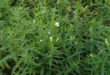 gratiola-officinalis