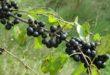 rhamnus-cathartica