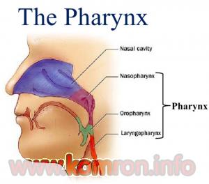 the-pharynx