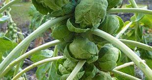 brassica-gemmifera