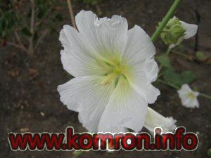 alcea-nudiflora