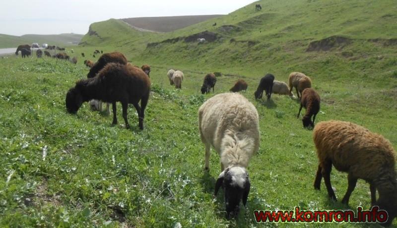 charogoh-gusfand