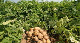 картошка растани