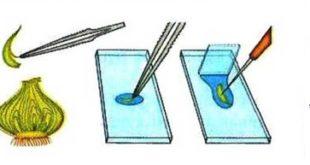 Тарзи тайёр кардани микропрепа- рат (ашё)-и пардаи пиёз