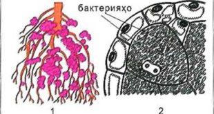 Расми 89. Бактерияҳои лӯндагӣ дар решаи растаниҳои лӯбиёӣ (1) ва буриши он дар зери микроскоп (2)