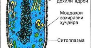 Сохти ҳуҷайраи бактерия