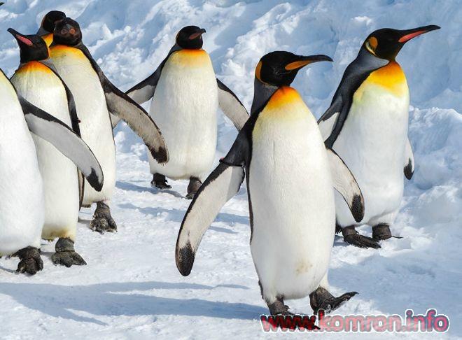 Пингвинҳо