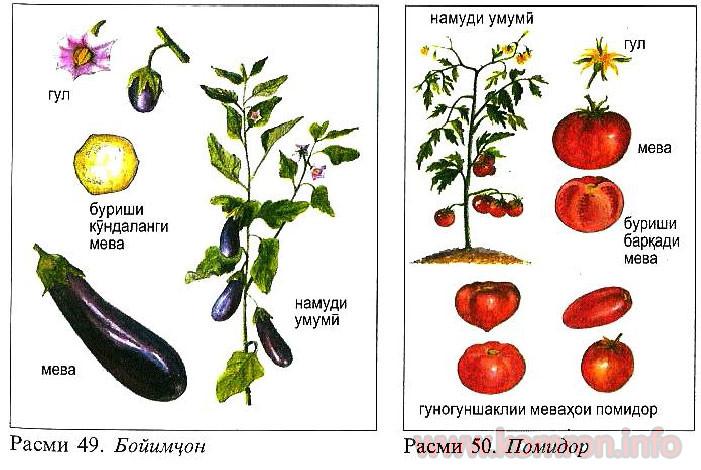pomidor-boqilo