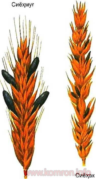 Запбуруеҳои паразит (дар хӯгиаҳо)
