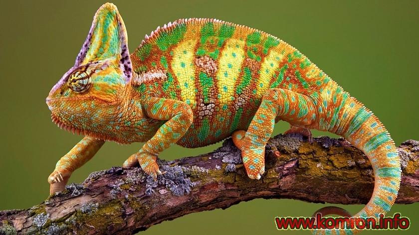 xameleon