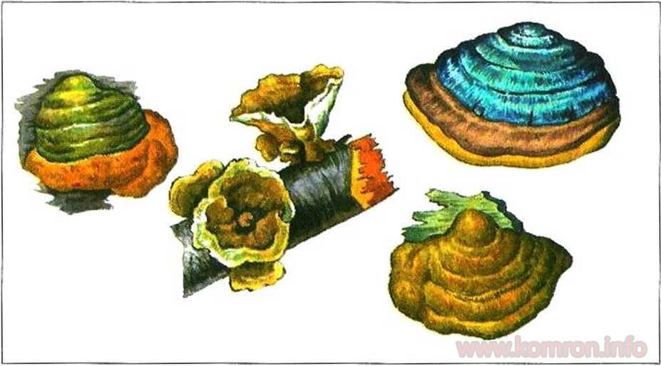 Занбуруғи паразит — чанбуч