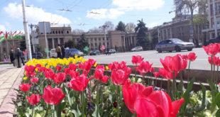 Гулҳои Душанбе (сурати лола – тюлпан)