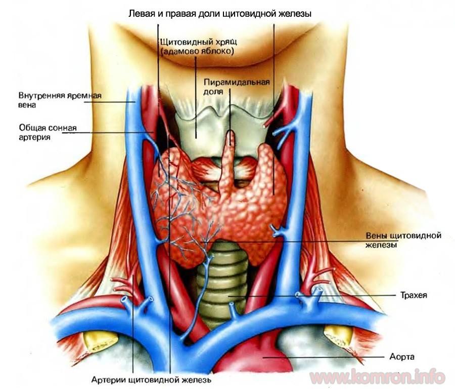thyroid_anatomy