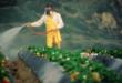 pesticidho